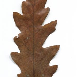 Photographie n°52077 du taxon Quercus cerris L. [1753]