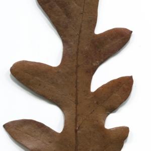 Photographie n°52079 du taxon Quercus cerris L. [1753]