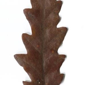 Photographie n°52080 du taxon Quercus cerris L. [1753]