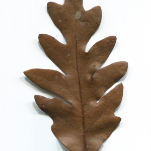 Photographie n°52081 du taxon Quercus cerris L. [1753]