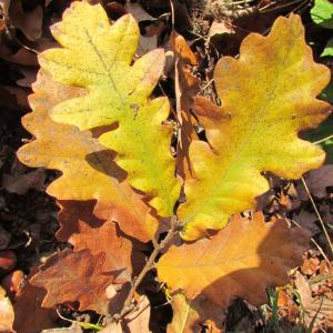 Photographie n°52134 du taxon Quercus robur L. [1753]