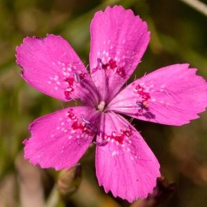 Photographie n°52143 du taxon Dianthus deltoides L. [1753]