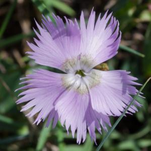 Photographie n°52149 du taxon Dianthus hyssopifolius subsp. hyssopifolius