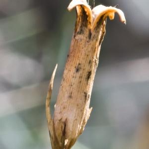 Photographie n°52151 du taxon Dianthus hyssopifolius subsp. hyssopifolius