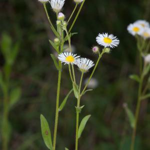 Erigeron annuus var. septentrionalis (Fernald & Wiegand) B.Bock (Vergerette du Nord)