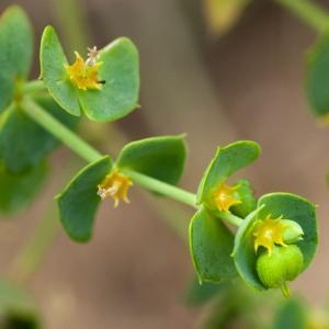 Photographie n°52288 du taxon Euphorbia peplus L. [1753]