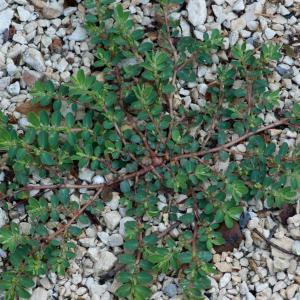 Photographie n°52289 du taxon Euphorbia prostrata Aiton