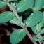 Jean-Jacques Houdré - Euphorbia prostrata Aiton