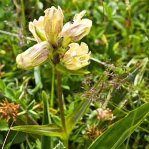 Photographie n°52359 du taxon Gentiana punctata L.