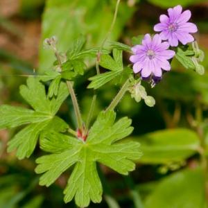 Photographie n°52366 du taxon Geranium molle L.