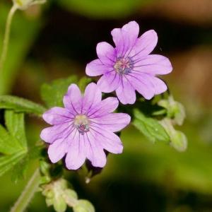 Photographie n°52367 du taxon Geranium molle L.