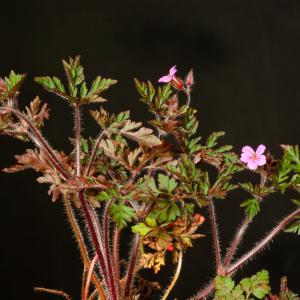 Photographie n°52372 du taxon Geranium robertianum L. [1753]
