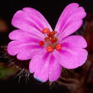 Photographie n°52373 du taxon Geranium robertianum L. [1753]