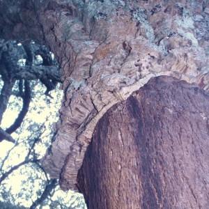 Photographie n°52401 du taxon Quercus suber L. [1753]