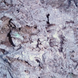 Photographie n°52402 du taxon Quercus suber L. [1753]