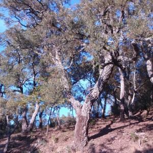 Photographie n°52403 du taxon Quercus suber L. [1753]