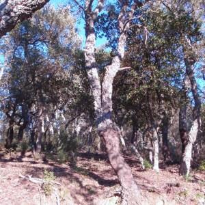Photographie n°52404 du taxon Quercus suber L. [1753]