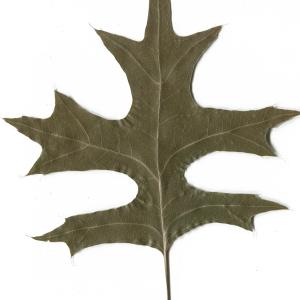Photographie n°52412 du taxon Quercus palustris Münchh.