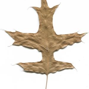 Photographie n°52414 du taxon Quercus palustris Münchh.