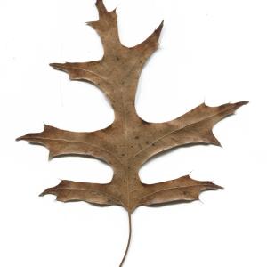 Photographie n°52415 du taxon Quercus palustris Münchh.