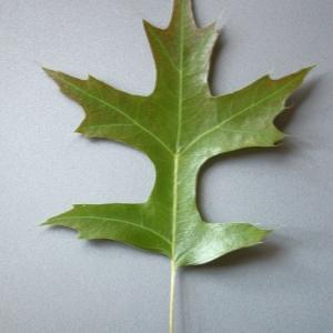 Photographie n°52417 du taxon Quercus palustris Münchh.