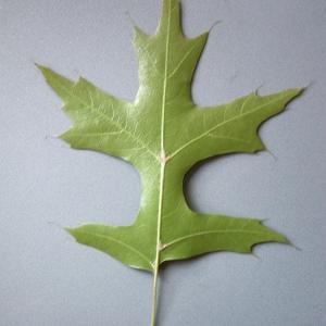 Photographie n°52418 du taxon Quercus palustris Münchh.