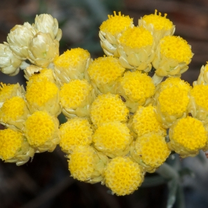 Helichrysum stoechas (L.) Moench subsp. stoechas (Immortelle)