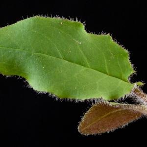 Photographie n°52430 du taxon Hieracium murorum L. [1753]