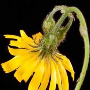 Photographie n°52432 du taxon Hieracium murorum L. [1753]