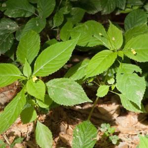 Photographie n°52456 du taxon Impatiens parviflora DC.