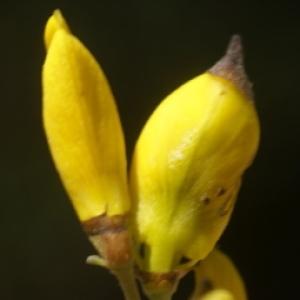 Cytisus spinosus (L.) Bubani (Calicotome épineux)