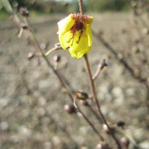 Photographie n°52471 du taxon Verbascum sinuatum L.