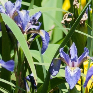 Iris versicolor L. (Iris versicolore)