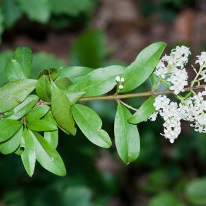 Photographie n°52542 du taxon Ligustrum vulgare L. [1753]