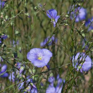 Linum austriacum subsp. collinum (Guss. ex Boiss.) Nyman (Lin des collines)