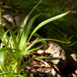 Photographie n°52576 du taxon Luzula sylvatica (Huds.) Gaudin