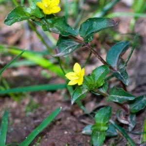 Photographie n°52623 du taxon Lysimachia nemorum L.