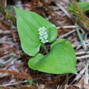 Photographie n°52630 du taxon Maianthemum bifolium (L.) F.W.Schmidt [1794]