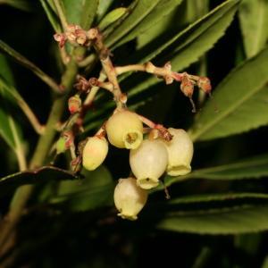 Photographie n°52700 du taxon Arbutus unedo L. [1753]
