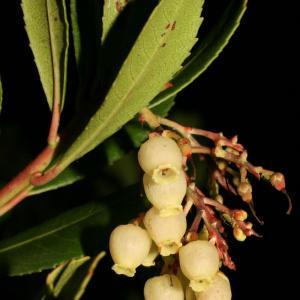 Photographie n°52705 du taxon Arbutus unedo L. [1753]