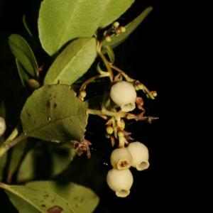 Photographie n°52707 du taxon Arbutus unedo L. [1753]