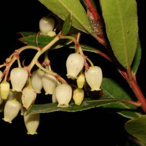 Photographie n°52728 du taxon Arbutus unedo L. [1753]