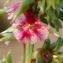Liliane Roubaudi - Salsola kali subsp. kali