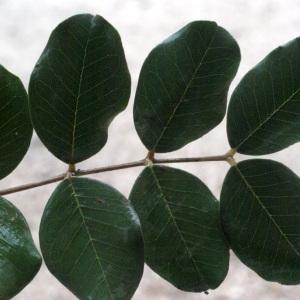 Photographie n°53831 du taxon Ceratonia siliqua L. [1753]