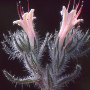Echium asperrimum Lam. (Vipérine des Pyrénées)