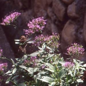 Photographie n°53857 du taxon Trachelium caeruleum L. [1753]