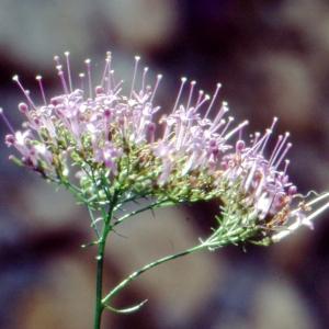 Trachelium caeruleum L. (Trachélium bleu)