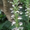 Liliane Roubaudi - Acanthus mollis L.