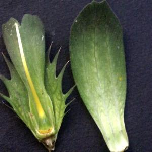 Photographie n°53861 du taxon Acanthus mollis L.