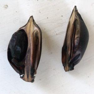 Photographie n°53862 du taxon Acanthus mollis L.